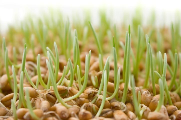 Alimentos germinados: Más salud y protección para tu vida