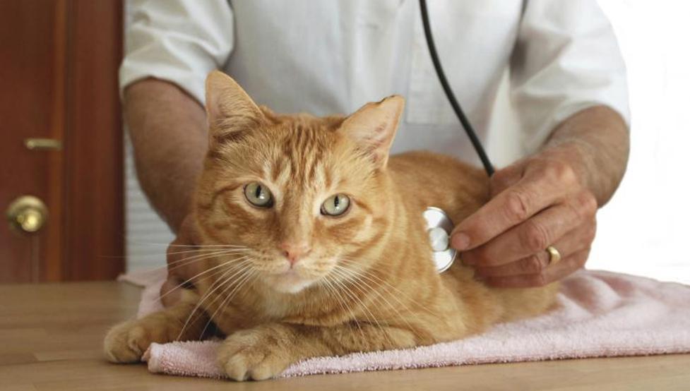 enfermedades que transmiten los gatos a los humanos